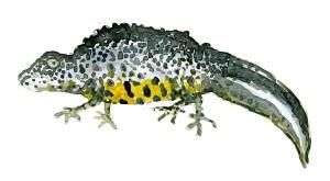 Salamander - kyststien, akvarel