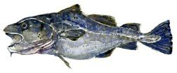 Torsk fisk i akvarel
