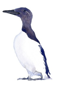 common-morre-guillimot-2-watercolor-by-frits-ahlefeldt